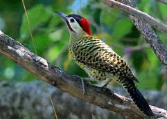Barred Woodpecker